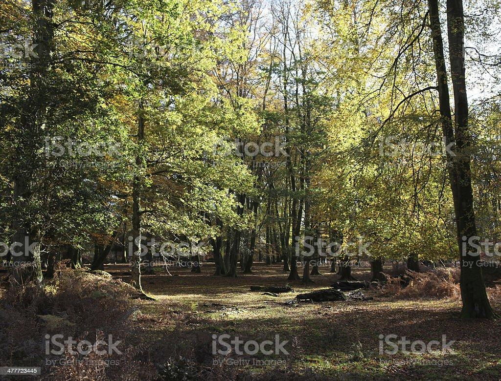 path through beech trees royalty-free stock photo