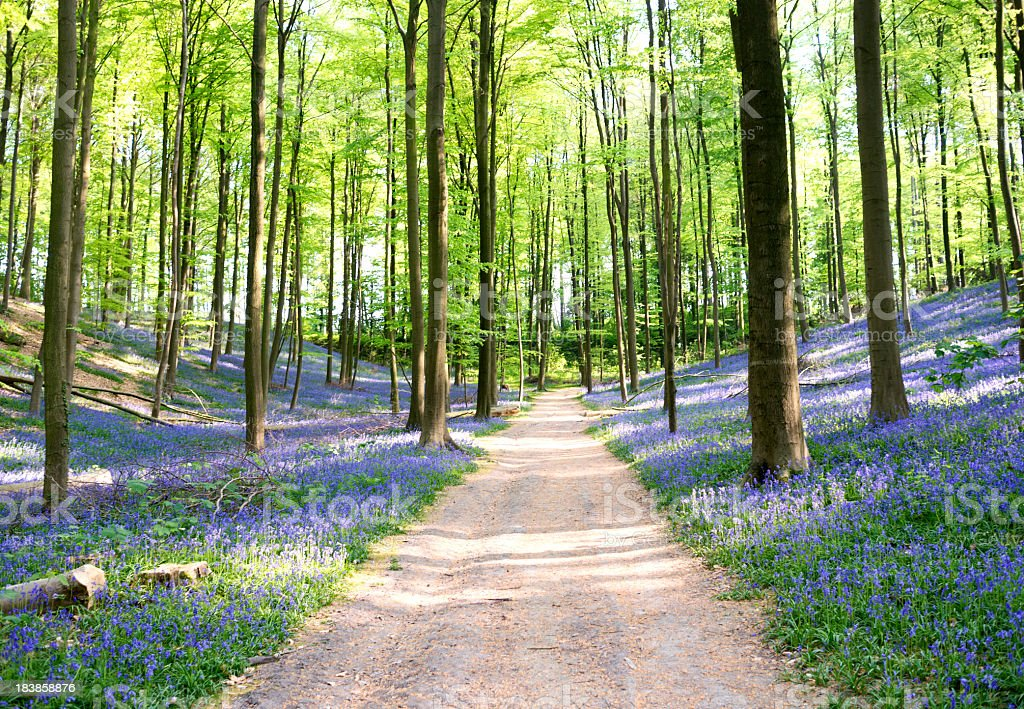 Path through blooming bluebell forest in spring,Hallerbos,Brussels,Belgium stock photo