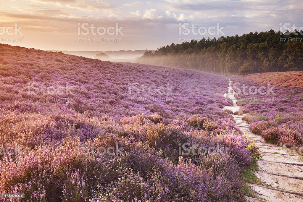 Path through blooming heather at sunrise, Posbank, The Netherlands stock photo