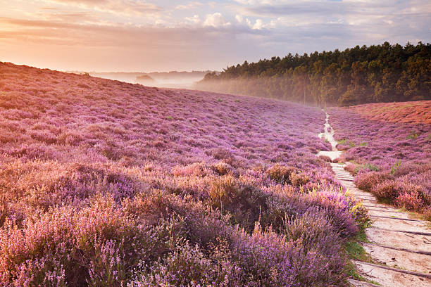 Path through blooming heather at sunrise, Posbank, The Netherlands Sunrise over hills with blooming heather. moor stock pictures, royalty-free photos & images