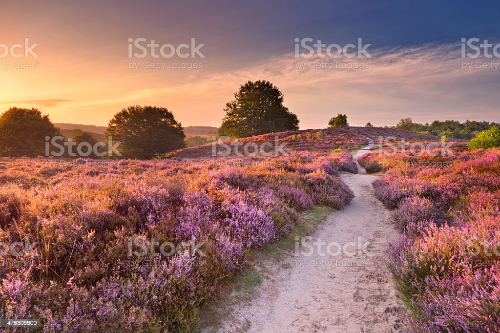 Path through blooming heather at sunrise, Posbank, The Netherlands A path through blooming heather at sunrise at the Posbank, The Netherlands. 2015 Stock Photo