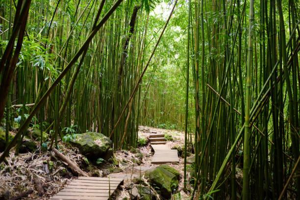 Pfad durch dichten Bambuswald, der zu den berühmten Waimoku Falls führt. Beliebter Pipiwai-Weg im Haleakala-Nationalpark auf Maui, Hawaii. – Foto
