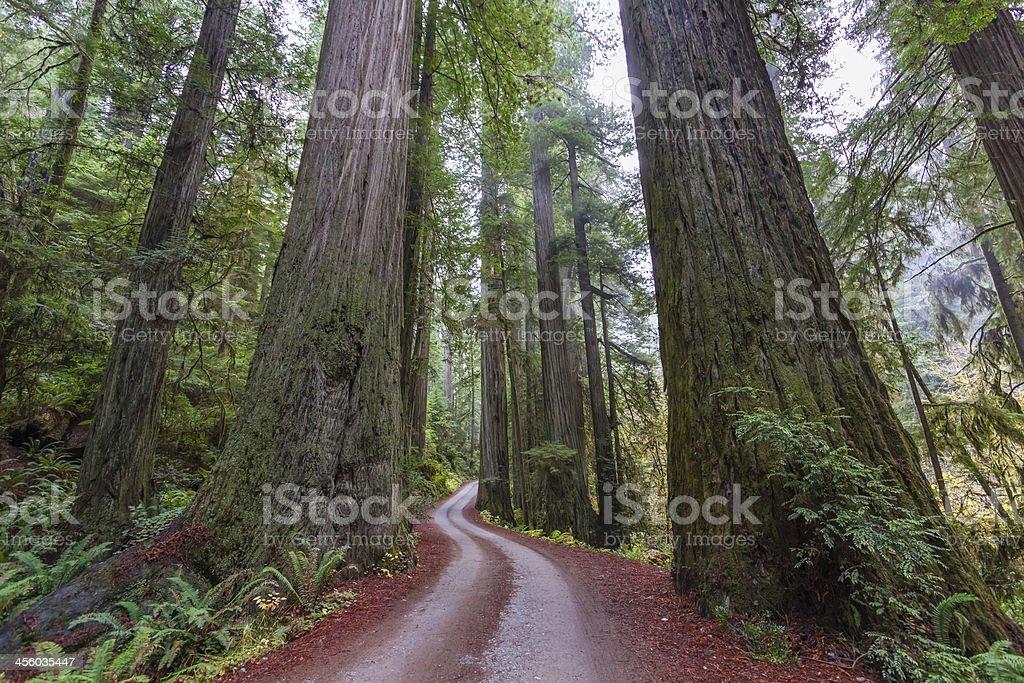 Path Through Giant COastal Redwoods stock photo