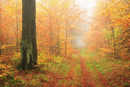 Path through Misty Autumn Forest