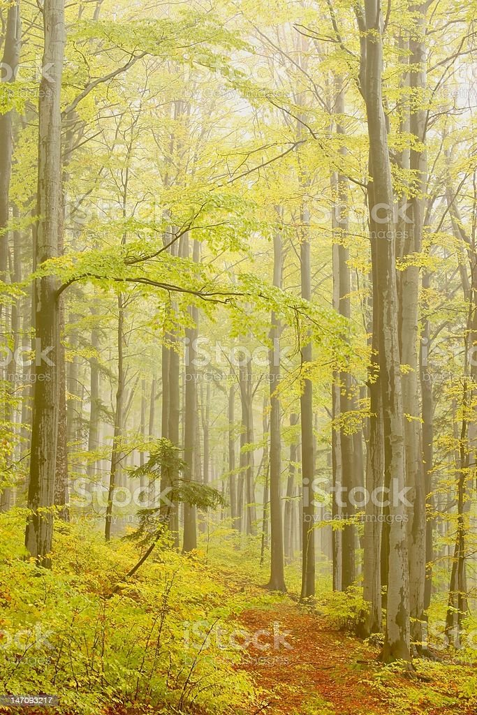 Path through misty woods royalty-free stock photo
