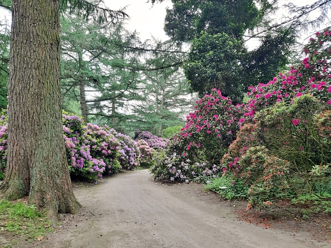 Path through rhododendrons