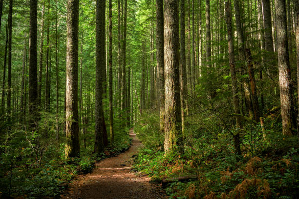 Path Through Sunlit Forest A trail through a sunlit Pacific Northwest forest. washington state stock pictures, royalty-free photos & images