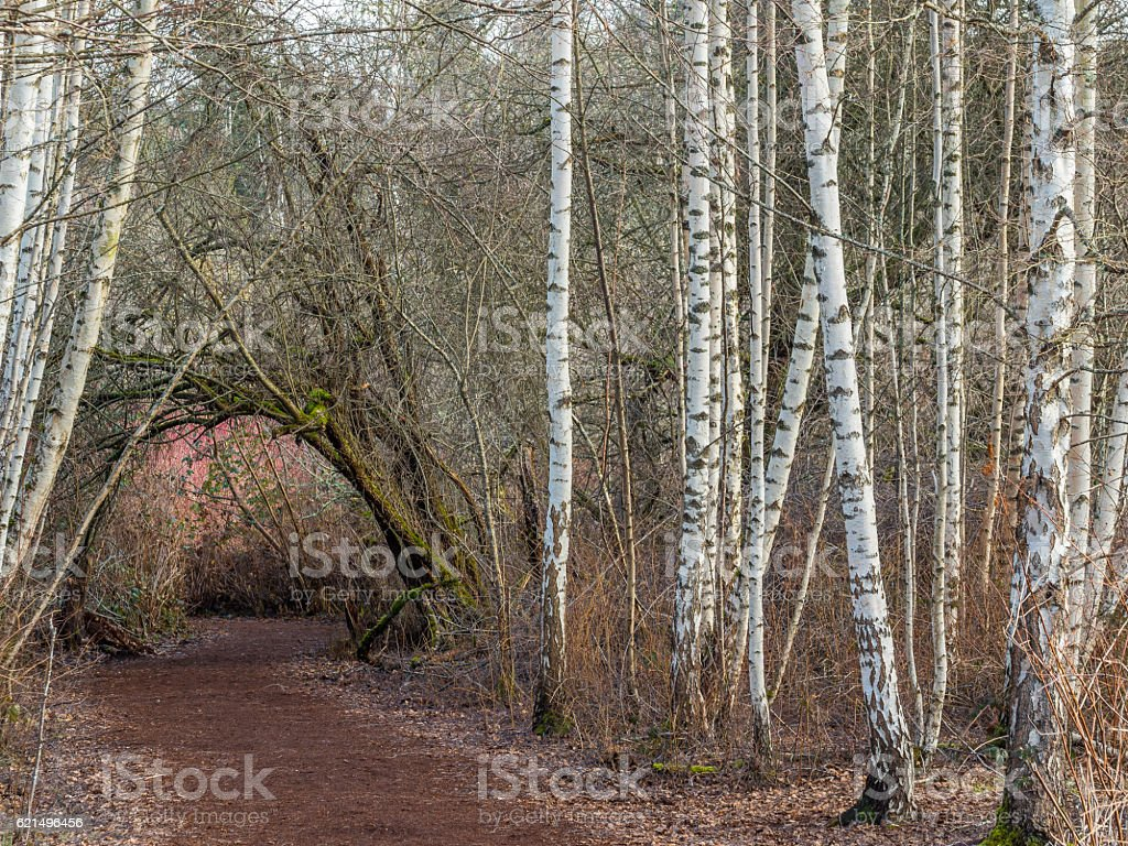 Path through the birch forest. White trunks in autumn. foto stock royalty-free