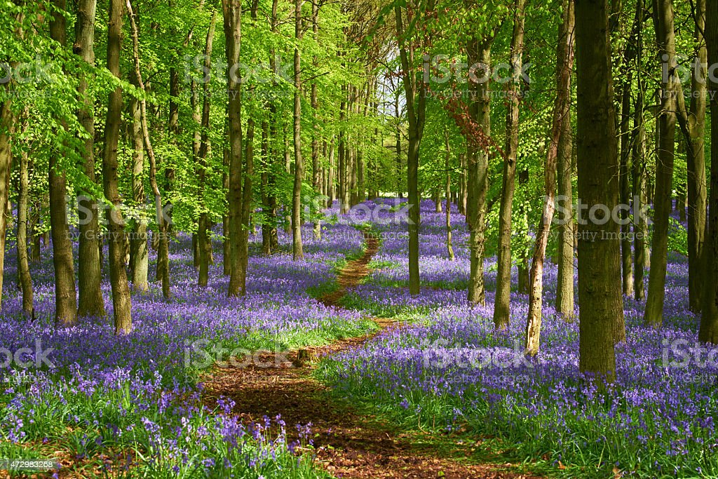 Path Through The Bluebell Wood In Springtime stock photo