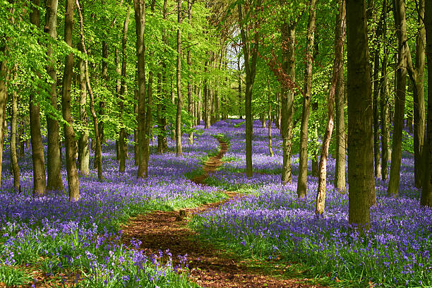 Path Through The Bluebell Wood In Springtime Springtime in the Chiltern Hills, deep in the English Countryside. A path makes its way through a bluebell wood. buckinghamshire stock pictures, royalty-free photos & images