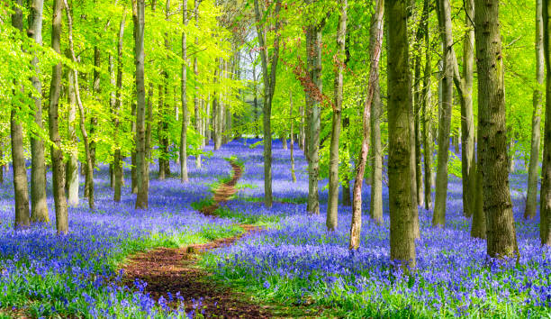 Path Through The Bluebell Wood In Springtime Path Through The Bluebell Wood In Springtime buckinghamshire stock pictures, royalty-free photos & images