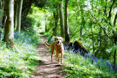 brown dog on a woodland path in springtime england