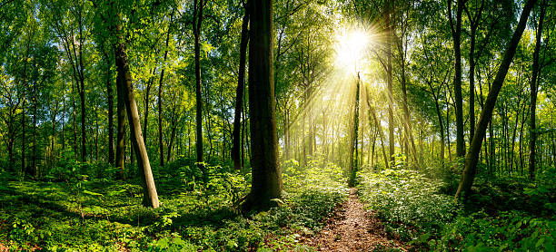 Path through the forest Path through the forest illuminated by sunbeams glade stock pictures, royalty-free photos & images