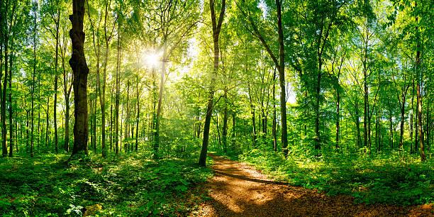 path through the forest - forest bildbanksfoton och bilder