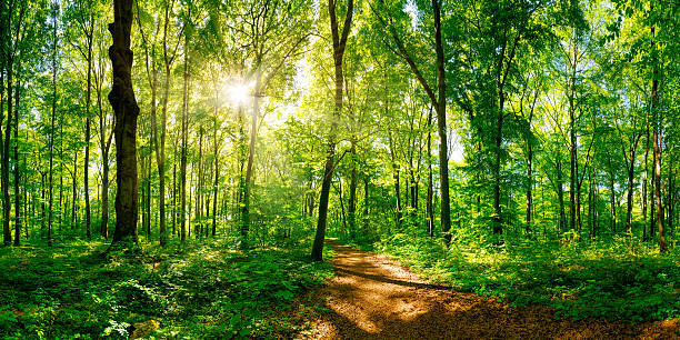 Path through the forest Forest with sun and path glade stock pictures, royalty-free photos & images