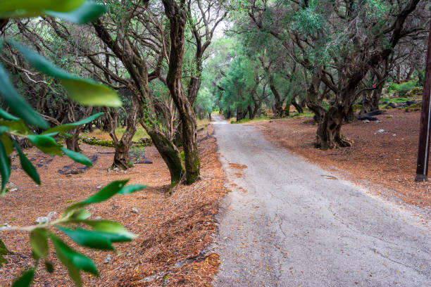 A path through the olive forest at Corfu, Greece, Europe stock photo