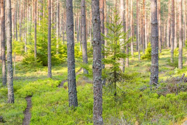 väg genom skogen - pine forest sweden bildbanksfoton och bilder