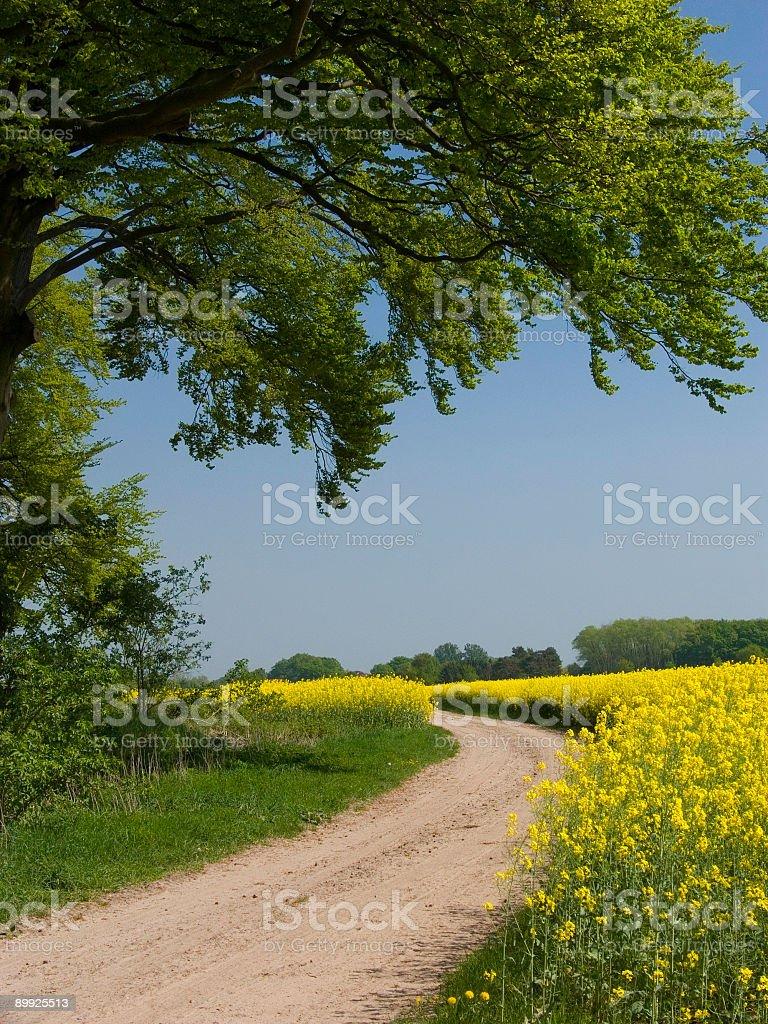 Path Trough Canola Fields royalty-free stock photo