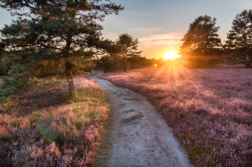Path trough heathland with flowering heather (Calluna vulgaris) in the Lueneburg Heath in Lower Saxony, Germany
