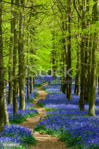 Path through a forest of bluebells in Hertfordshire England
