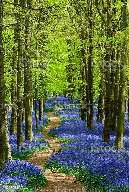 Path winding through a carpet of bluebells in a forest picture id157280412?b=1&k=6&m=157280412&s=612x612&h=taujouj cyyxevdjkvojgmks8 1dcd pkn26r7gufoi=