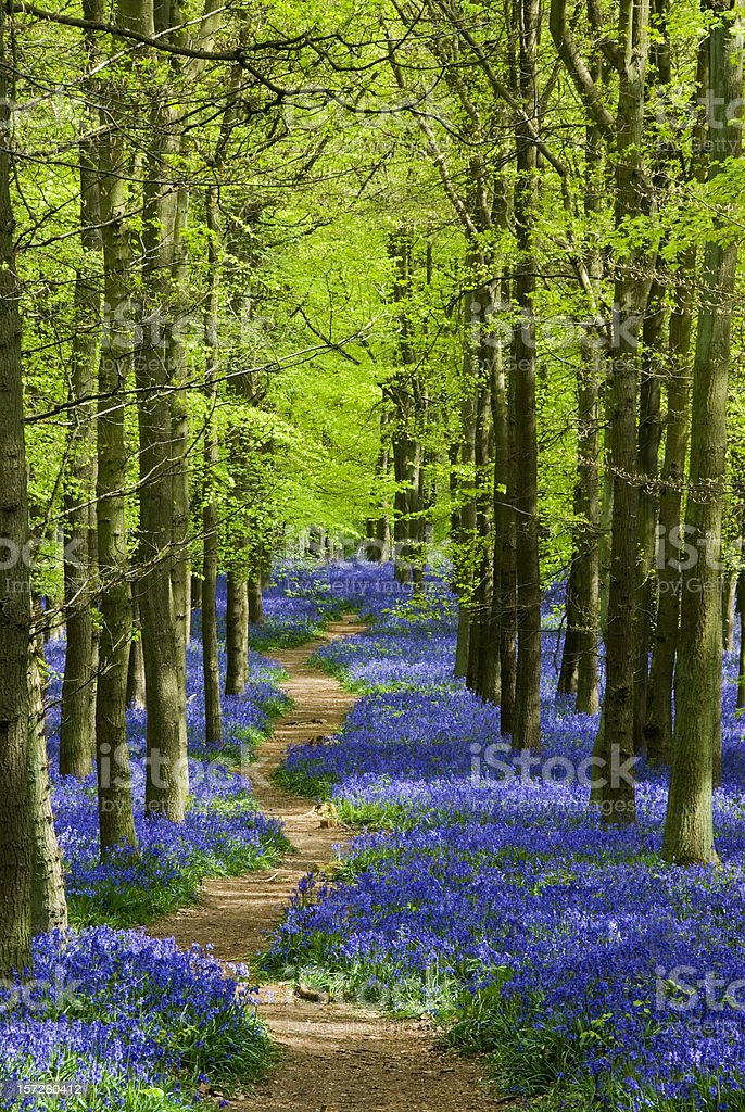 Path winding through a carpet of bluebells in a forest stock photo