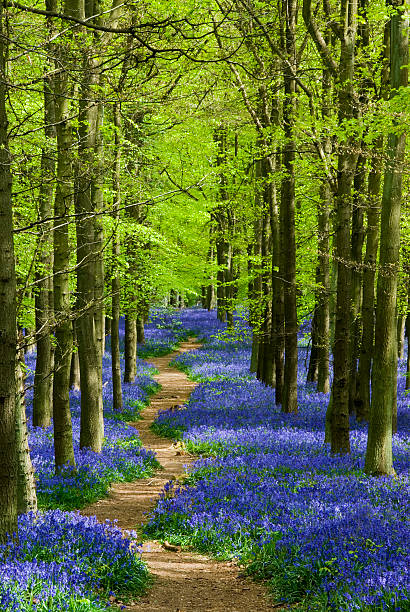 Path winding through a carpet of bluebells in a forest Path through a forest of bluebells in Hertfordshire England bluebell stock pictures, royalty-free photos & images
