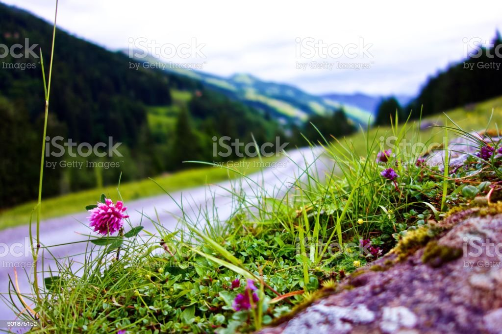 path with dainty purple wildflower growing on the verge at Talschluß in Saalbach, Austria stock photo