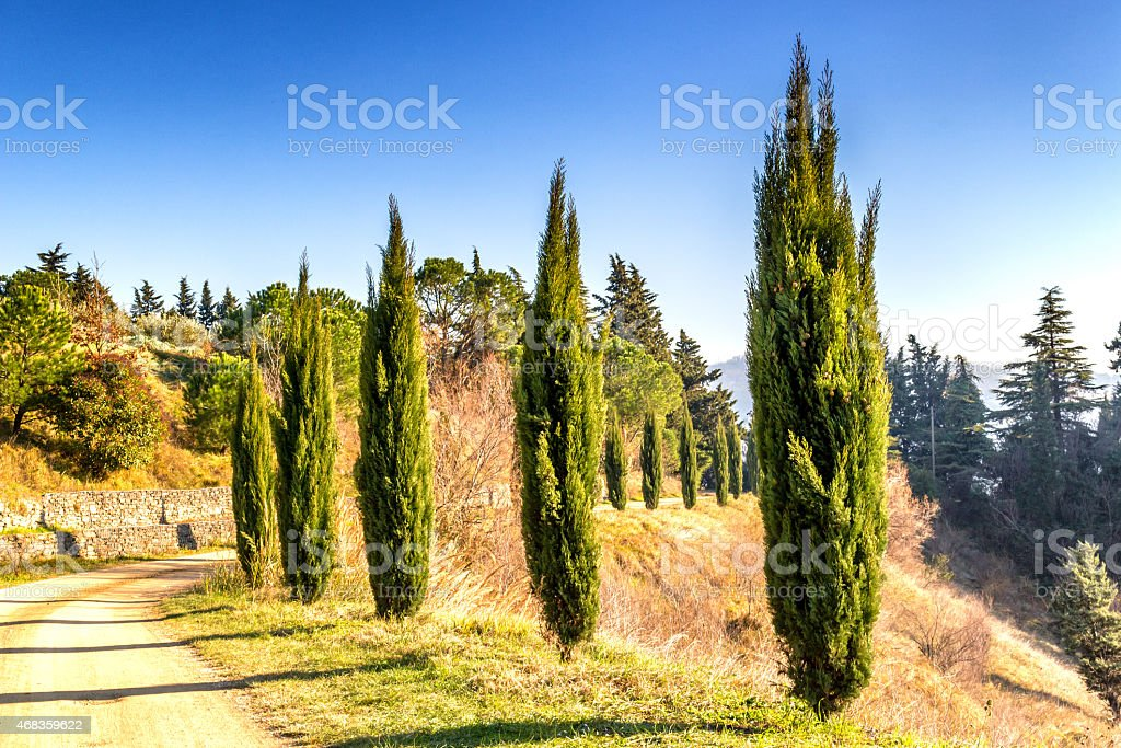 Pathway bordered by cypresses royalty-free stock photo