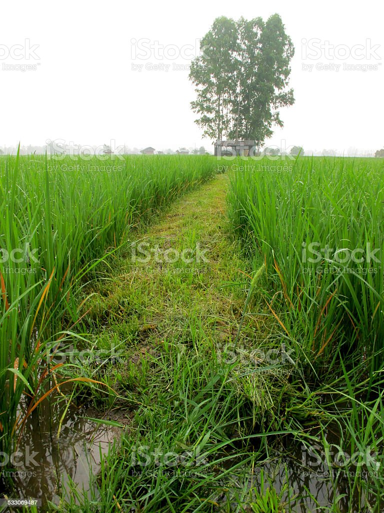 Pathway in the rice field stock photo