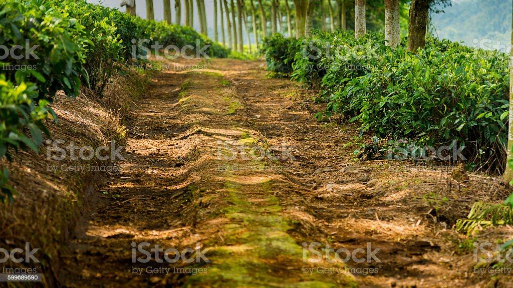 Pathway in the tea plantage stock photo