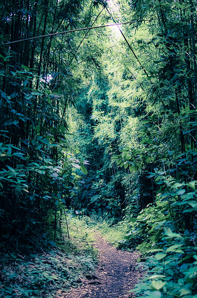Pathway through bamboo forest stock photo