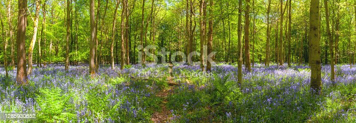 A footpath running through a beautiful bluebell wood.