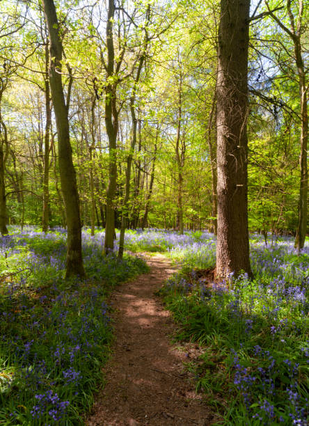 Pathway Through The Bluebells stock photo