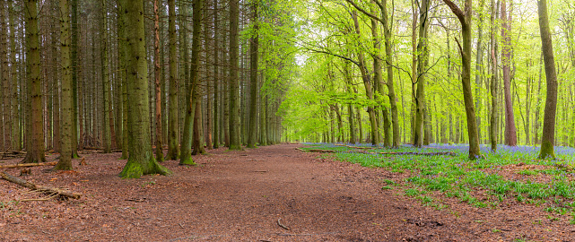 A footpath running through a wooded scene in Springtime, with one side of he path a riot of lush bluebells, and the other side dominated by more sombre pine trees.