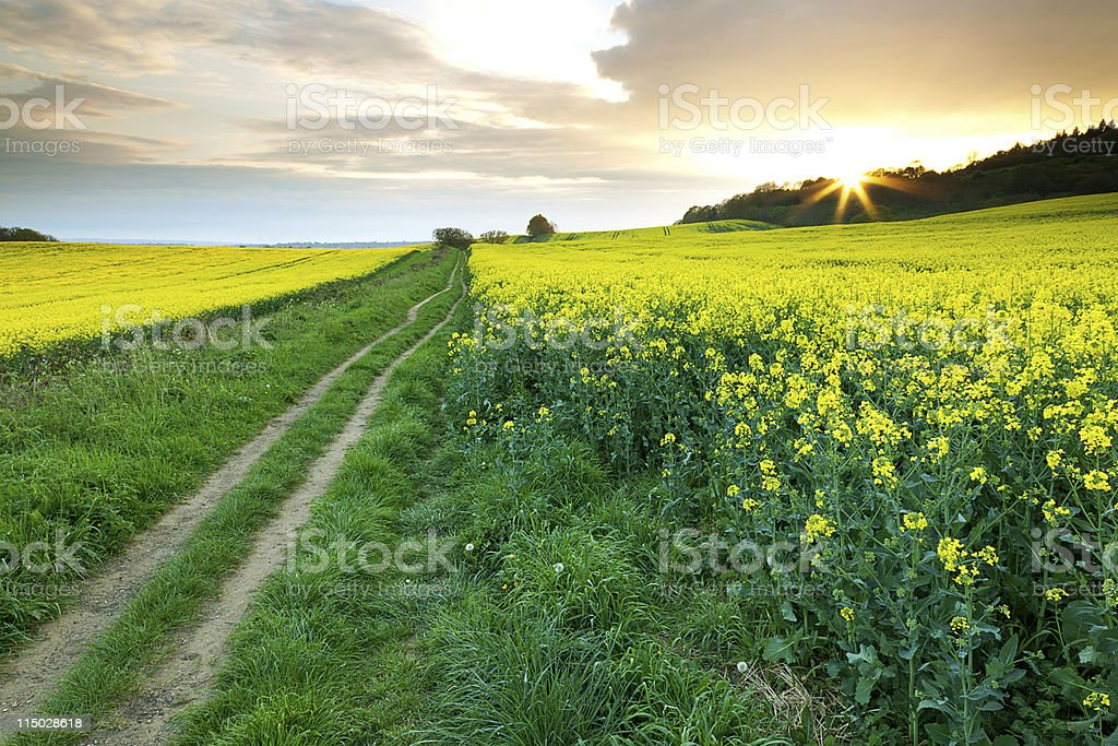 Pathway Through the Rapeseed Fields stock photo