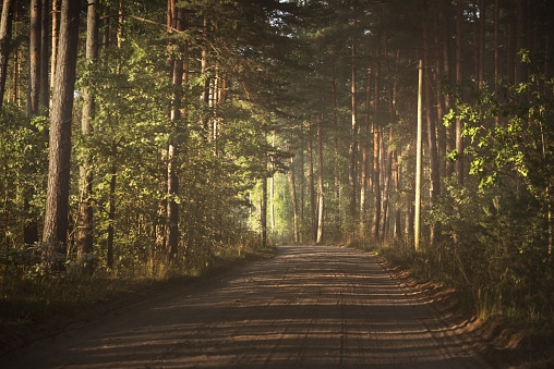 A pathway through the tunnel of the pine trees in a mixed coniferous forest, sunlight through the tree trunks. Shadows on the ground. Dark forest scene. Finland