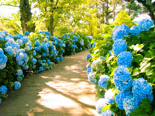 Pathway With Hydrangeas. stock photo