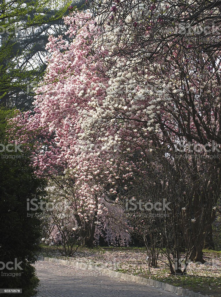 Pathway with pink and white tulip trees royalty-free stock photo