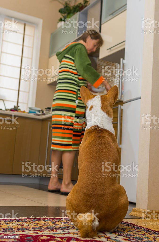 Patient basenji is waiting till servant cook his lunch stock photo