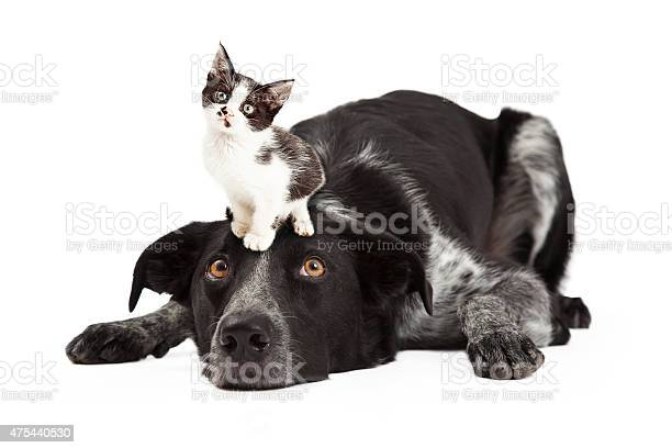 Patient border collie with little kitten on head picture id475440530?b=1&k=6&m=475440530&s=612x612&h=mqqverhlbvxcyikgi4xvciw7ag1wfqfupfmfahe20o4=
