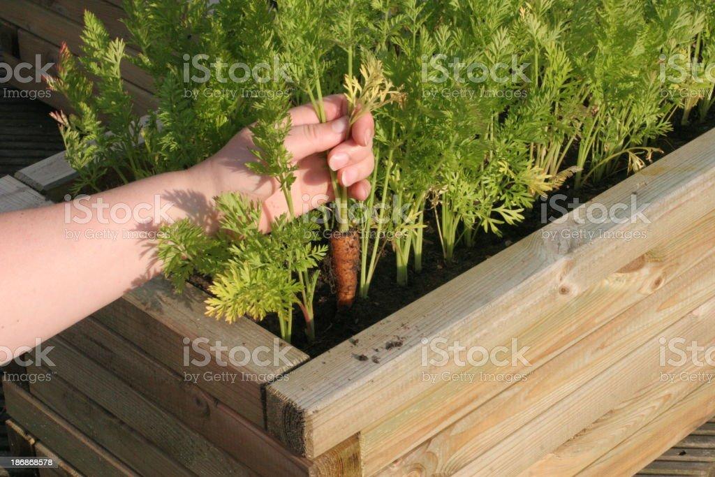 Patio Vegetable Garden Carrots royalty-free stock photo