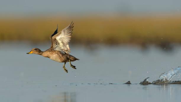 Pato barcino stock photo