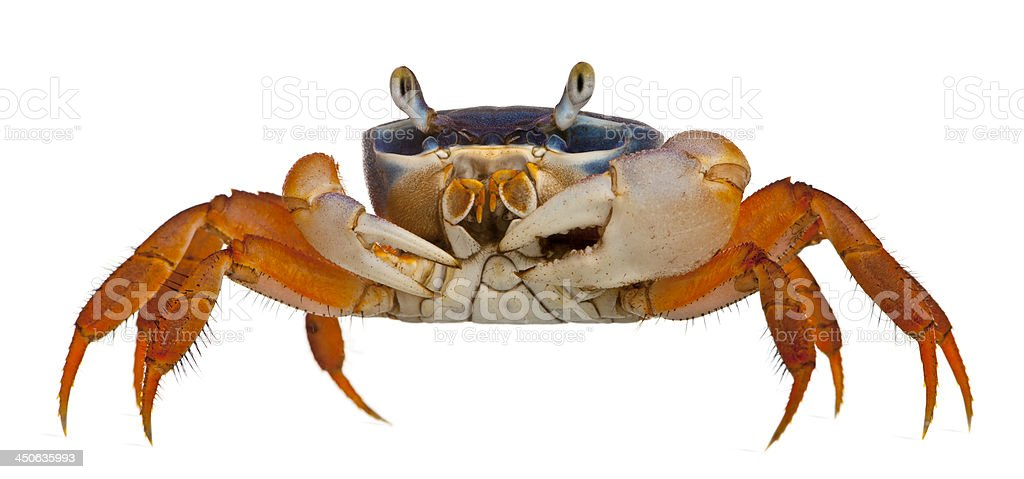Patriot crab, Cardisoma armatum, in front of white background stock photo