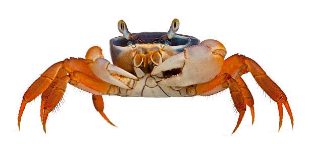 patriot crabe, cardisoma armatum, en face de fond blanc - crabe photos et images de collection