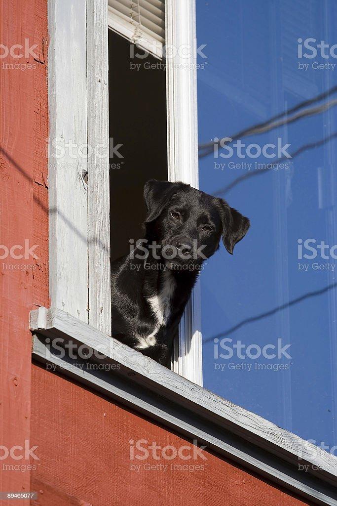 Patriot chien photo libre de droits