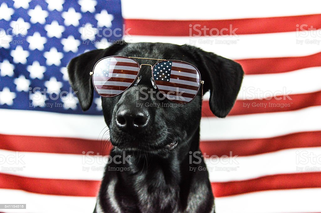 Patriotic Black Lab stock photo