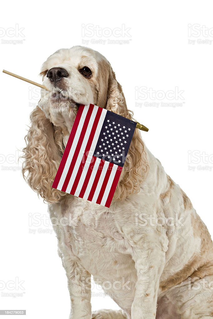 Patriotic Dog stock photo