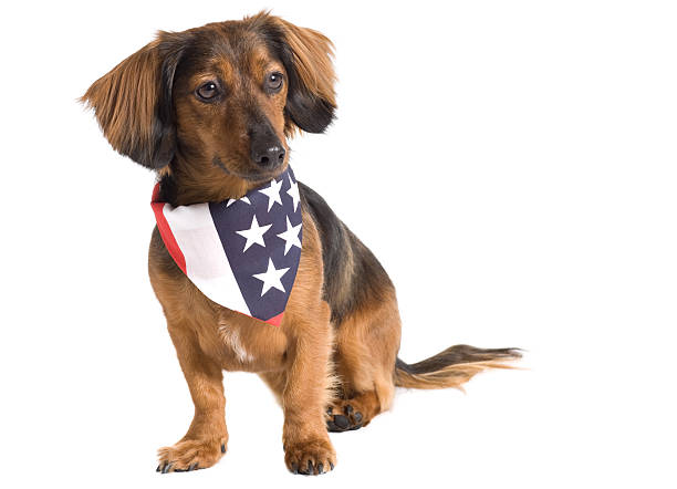 Patriotic Doggy stock photo