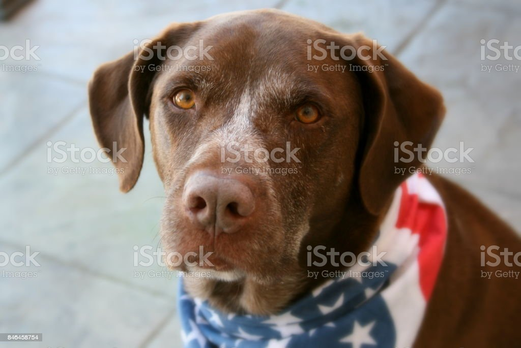 Patriotic German Shorthaired Pointer mix - foto stock